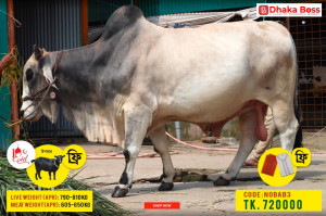Nobab3  Cow Cattle (Original Brahma Cross)100% Organic.Call:01311849291