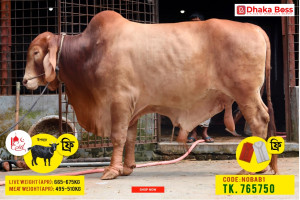 Nobab1 Cow Cattle (Original Brahma Cross)100% Organic.Call:01311849291