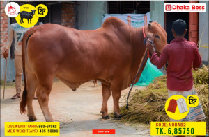 Nobab2 Cow Cattle (Original Brahma Cross)100% Organic.Call:01311849291