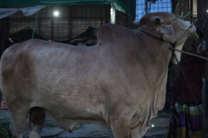 Don8 Cow Cattle (Original Brahma Cross)100% Organic. Call:01311849291