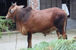 Raza2 Cow Cattle (Original Brahma Cross)100% Organic.Call:01311849291